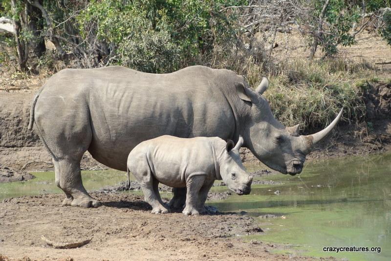 Во светот останаа уште само три бели носорози