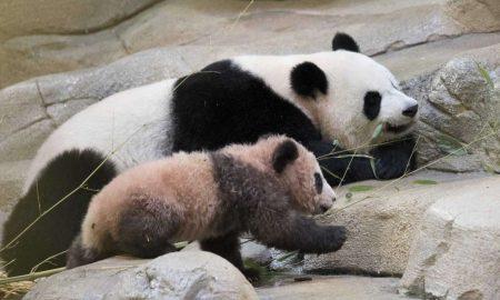 Првата панда родена во Франција покажана пред јавноста (ВИДЕО)