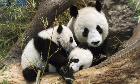 Панда сликарка - атракција во виенската зоолошка градина