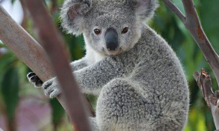 Коалите за три децении може да исчезнат од делови на Австралија